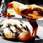 Ciri Khas Ayam Bangkok Asli F1 Berasal dari Thailand