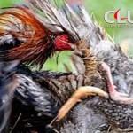 Mengenal Sejarah Dan Ciri-Ciri Ayam Shamo Jepang