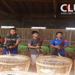 Harga Ayam Bangkok 2017 Mencapai Ratusan Juta Rupiah