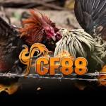 Panduan Cara Bermain Sabung Ayam Online Cf88